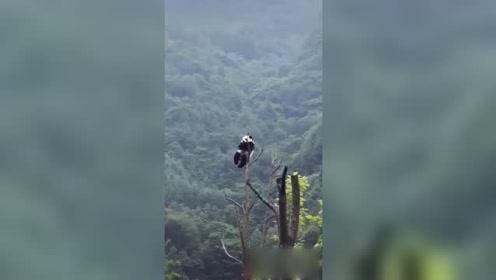 熊猫宝宝真是不怕高,还挺悠闲