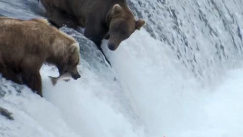 两头棕熊河边捕鱼,鱼儿主动送入口中,旁边的同伴怀疑人生