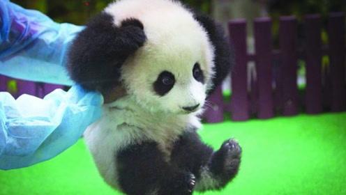 熊猫宝宝:你问我们为啥数量少?从小抵抗神秘力量,换你来试试?