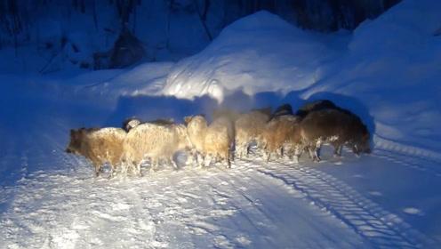 下雪天开车遭遇一群野猪拦路,死死跟着灯光不愿走