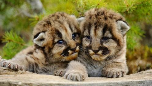 美洲狮又称美洲金猫,体长130~200厘米,轻松一跃可达9米多远