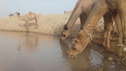 十几天没喝水的骆驼,突然看到一片水源,场面让人意想不到