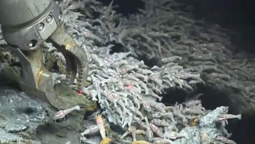 科学家深海火山口处发现虾群,当地水温450度,这虾不好煮熟!