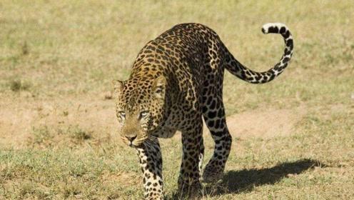 凶猛狒狒群追杀花豹,只因花豹不知所谓的想要喝它们地盘上的水!