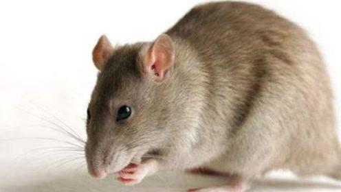 找到一个塑料瓶,不管多狡猾的老鼠,轻松消灭光,不用买老鼠药了