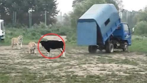 给12只东北虎投喂活牛,车门被打开的那一瞬间,场面太壮观了