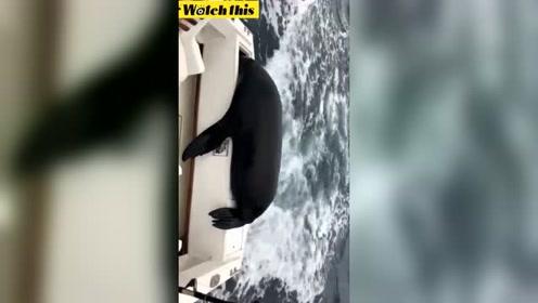小海狮爬上渔船埋头猛吃 把做诱饵的鱼吃光后跳水离开