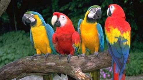 鹦鹉一旦唱起歌来,可能真没网红什么事了,真的秀!