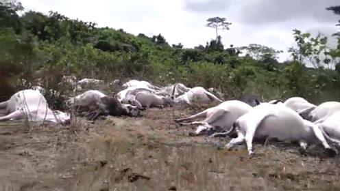 非洲一小镇遭雷劈,49头牛被雷劈死