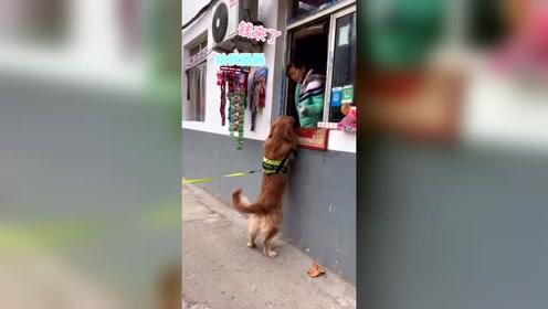 这样的金毛见过吗?自己买火腿找主人要钱,这只狗太聪明养不起