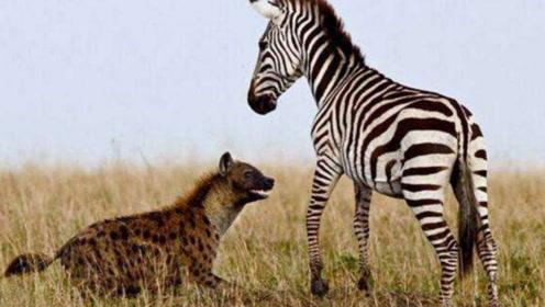 狡猾的鬣狗想来狩猎,被斑马狠狠教训一番!