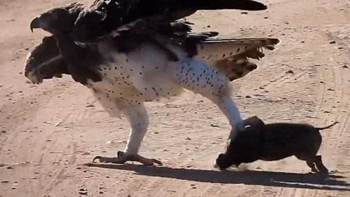 老鹰抓到一只小野猪,结果爪子被卡住飞不起来,这下真是太尴尬了!