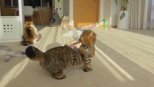 淘气铲屎官想出整蛊新招,在猫咪后背绑上玩具,镜头记录全过程