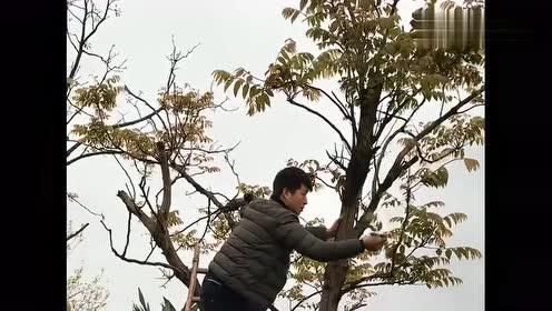 这个视频火了,家里的香椿可以吃了,上树去摘一点!