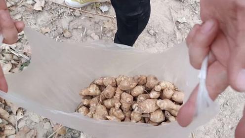 野生山姜你们见过吗?农村妈妈在路边发现一大片,一会挖了一大袋