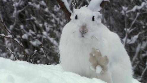 地球上最牛的兔子,大长腿百米5秒,最快时速达64公里!