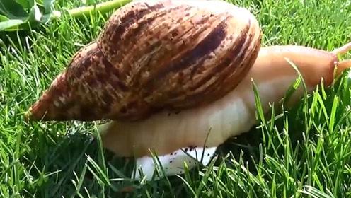世界上最大的蜗牛,比兔子还大,网友:够吃好几顿的了!