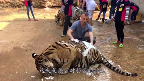 泰国著名老虎寺,把百兽之王当猫逗,网友:王的尊严何在?