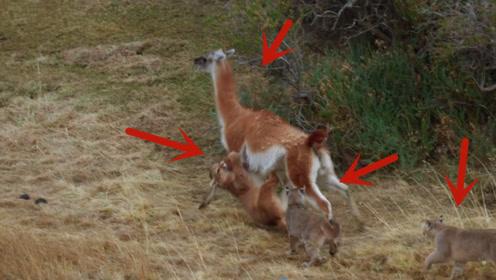 南非驼马为了给同伴报信,被4只美洲狮包围,好样的