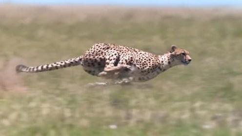 世界上跑得最快的动物:猎豹,好像一件完美的艺术品