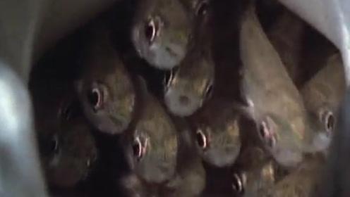 比杜鹃鸟还狠毒的鱼,害惨了别的鱼,镜头记录全过程