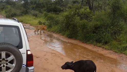 野外偶遇小牛拦车,刚想下车却看到惊人一幕,镜头记录全过程