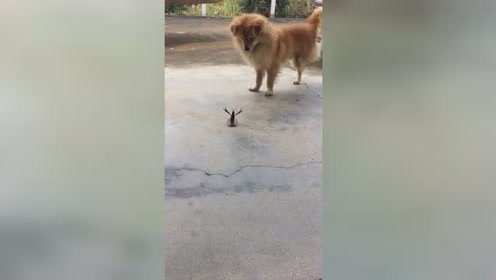 当狗子遇上一双钳子,不知从何下手