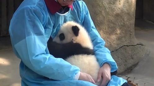 熊猫宝宝受了委屈,哭唧唧地找奶爸求安慰,心都被萌化了!