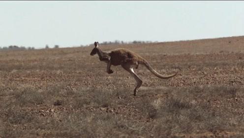 这不就是活的弹簧系统嘛,揭秘袋鼠的跳跃进化之路!