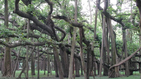 世界占地面积最大的树,生长于明末清初,曾出现在小学课本上!