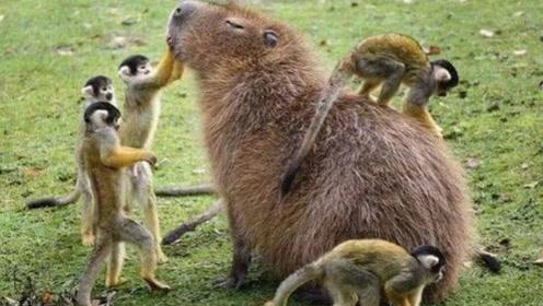 世界上脾气最好的动物,动物界中出了名的老好人,连天敌都能成它朋友!