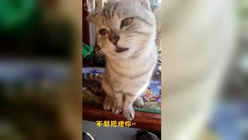 小猫看见吃的东西反应太可爱了,主人:我就是不给你!