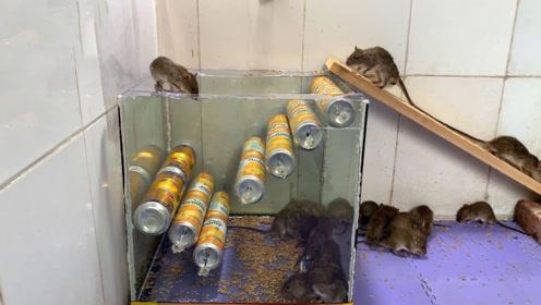 易拉罐做的捕鼠神器,老鼠进去就出不来了,发明界的天才!