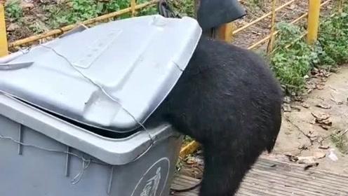 小狗熊这波操作太可爱了,为了找吃的,居然直接钻进了垃圾箱里!