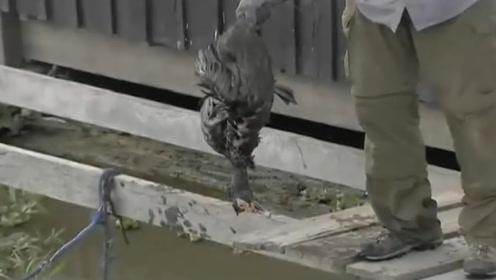 食人鱼饿了7天有多恐怖?老外扔了一只鸭子进去,场面瞬间失控!
