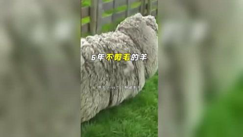绵羊为了躲避剪毛,逃进深山6年,到底变成了什么样?