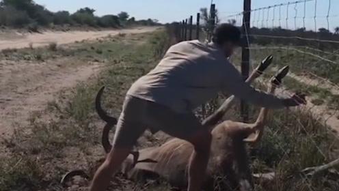 热心的小伙,冒着危险救治羚羊,镜头记录全过程