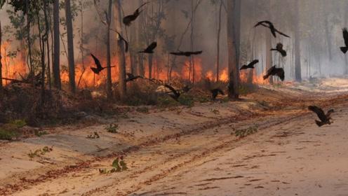 鸟类会用火!澳洲山火难灭的原因找到了,这种鸟会不断制造起火点