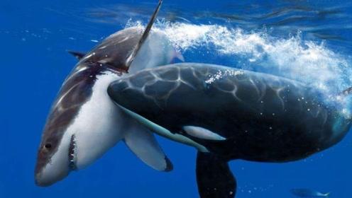 虎鲸把鲨鱼当饭吃,为什么却不攻击人类呢?专家:它们惹不起