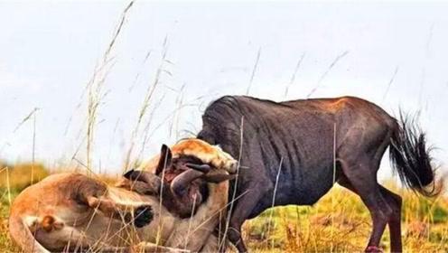 为什么狮子会害怕角马?看完这只狮子的下场,你就明白了!