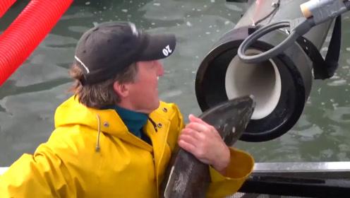 老外为了让鲑鱼产卵,竟让它坐过山车!难道不怕鲑鱼流产吗?