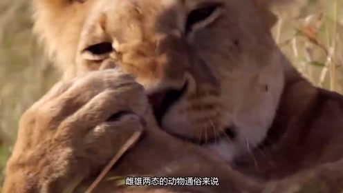 为什么大家总是用雄狮雌狮的称呼,却从不用雄虎雌虎的说法呢