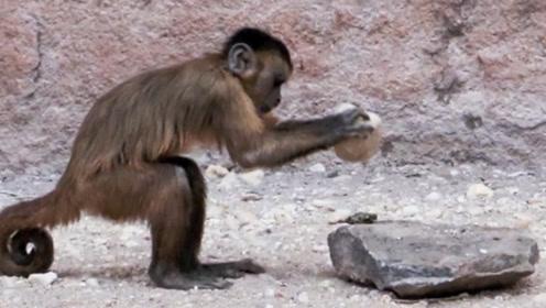 猴子还能进化成人吗,科学家很忧愁:巴拿马猴子已经进入石器时代