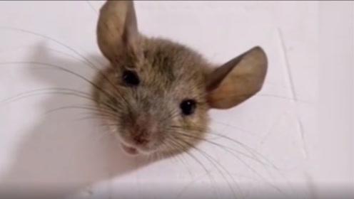 还有点可爱!老鼠太胖被卡墙上,住户:上厕所看着我怪尴尬的