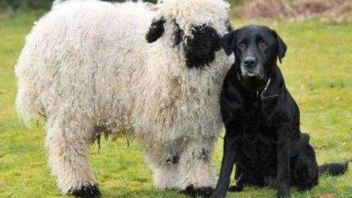一只很有脾气的羊,找狗切磋,把狗揍的惨叫连连