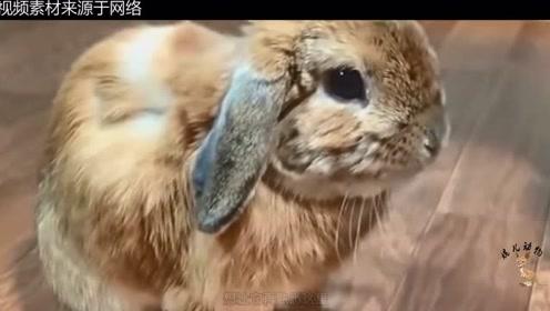 这只毛茸茸的兔子,在主人的按摩下,一脸享受的小表情可爱极了!