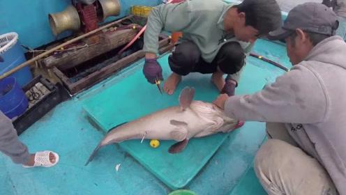 深海的鱼,只要被钓上来就这个样子,还得给鱼放气