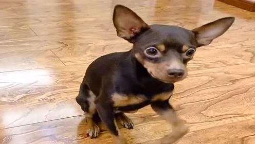 狗狗非要主人给它穿厚衣服,它的反应太聪明了,狗狗成精了!
