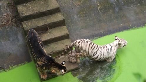 """全球仅有一只的""""黑色老虎"""",真正有种不怒自威的感觉"""