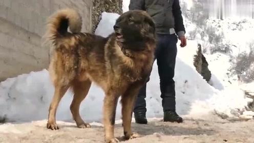 这个品种的狗身材高大无比,听说连藏獒都不是它的对手,真想看它们打一场